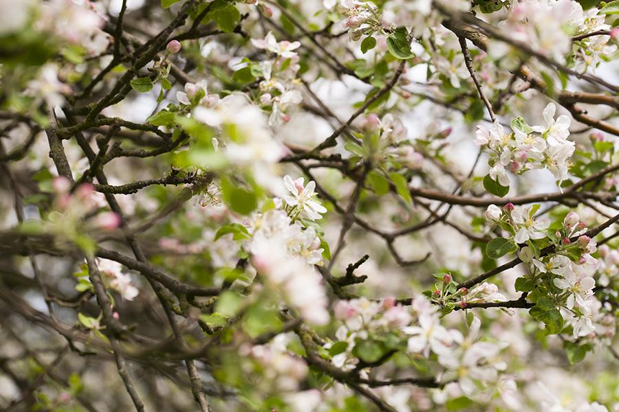 galęzie kwitnącej jabłoni