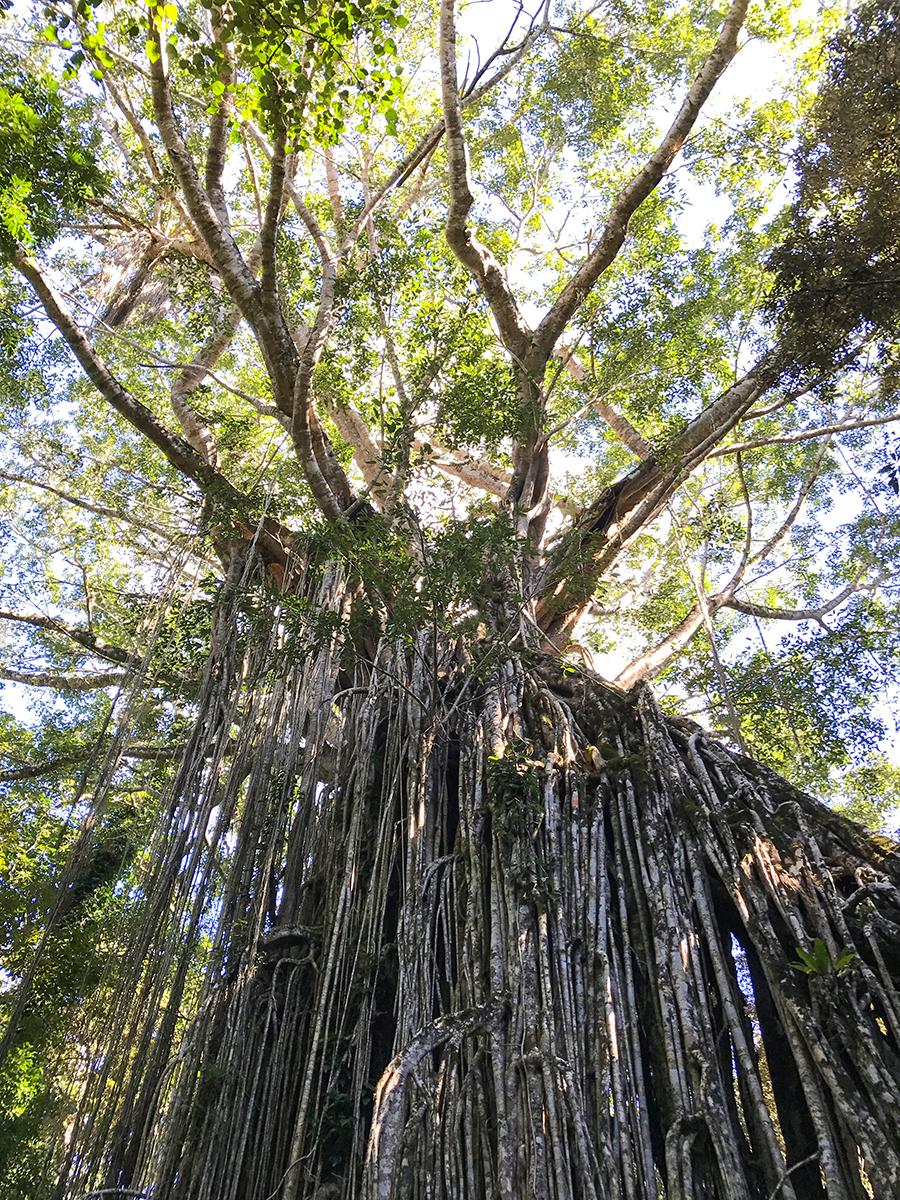 kamperem przezaustralię, australia, las deszczowy, las tropikalny